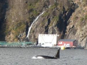 Orcas3 Langenuen